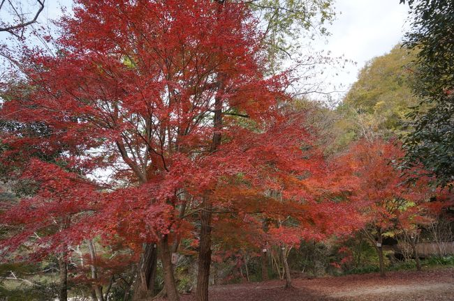 珍しく夫婦二人で平日が休みになった今日、「紅葉でも見に行く?」と言っていたのですが、週間予報では雨とのこと・・・「やめようか。」<br /><br />でも当日は朝からお日さまが顔を出し良いお天気。<br /><br />昼からは曇ってくるそうなので、近場の武田尾温泉に行くことに・・<br /><br />朝のテレビ番組でやっていた廃線跡のハイキングも取り入れてプチ紅葉狩りをしてきました。