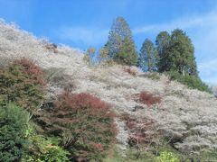 小原の四季桜 満開でした