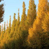 神宮外苑 黄葉のいちょう並木とライトアップの六義園