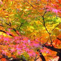 昨年に引き続き、埼玉の素晴らしい紅葉に大満足!! これからは毎年、紅葉狩りは埼玉かしらん?