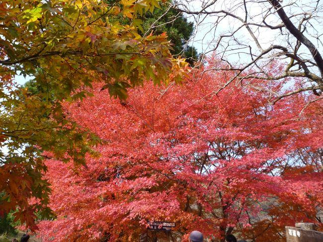 11月の三連休に、毎日紅葉見物に出かけた。モミジの赤い色が嫌になるほどだ。行ったのは三箇所。岐阜美濃の大矢田神社、養老山系の多良峡森林公園、滋賀木之本鶏足寺・石道寺。それぞれ趣のあるお寺・公園だった。葉の色が、緑・黄・紅と変わりつつあるモミジの葉がとてもきれいだった。