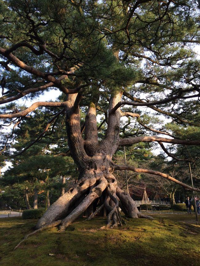 旦那が石川県に行ったことがない、以前越前大野城に行った時に、丸岡城に行きそびれた、というので、両方いっぺんに処理しましょう、ということで企画しました。<br />企画したのが2週間前だったため、宿探しに苦労しましたが、三国のホテルで越前ガニ付きのプランを予約することができました。
