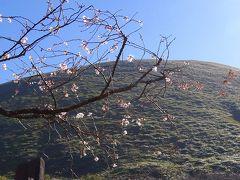 好天に誘われ、伊豆高原のさくらの里へ十月桜を見に出掛けました。