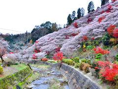 2014紅葉(13)小原四季桜まつり  川見四季桜の里