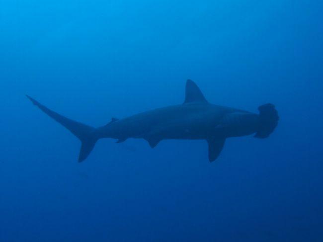 大物好きのダイバーなら一度は潜ってみたいコスタリカのココ島。<br />特にハンマーを見るなら世界一の海らしい。<br /><br />コスタリカの本土から約550キロの位置にあるココ島。当然クルーズでしか潜れないこの海は、旅行期間の長さ、ツアー料金の高さとサラリーマンには潜りたくてもなかなか潜れない海。一度でいいから、そんな海に潜りに行きたい!っと強く夢を描いていたところ遂にココ島ダイビングクルーズに参加できるチャンスを得たので行ってきました。<br /><br />今回の日程、日本発着12日間 ダイビング5日x3本とナイトダイブ2本の計17本。5日間潜る為に前後移動が7日間ってw<br /><br />やっぱり'ココ,の海は凄かった!