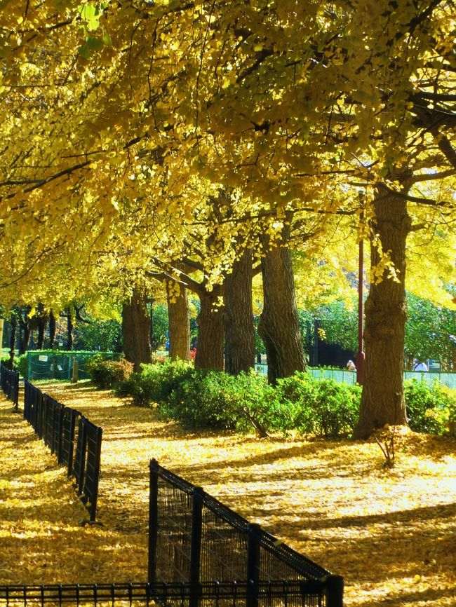 先週の代々木公園に引き続き、紅葉を求めてのお出かけです。<br />条件も全く同じ「紅葉は見に行きたいけど、お金は使いたくない。行って見た事の有る所へも行きたくない。お昼ご飯までには帰って来たい」で、場所探し。<br />結果、片道237円で東京メトロ丸の内線の南阿佐ヶ谷、新高円寺から歩いて行けるタイトルの2ヶ所(隣接しています)に決めました。入場無料も何も、一般道沿いなので、勝手に歩いて良い訳です。<br />善福寺川の方は桜も有名らしいので、またその時期に訪れたいと思います。<br />赤い紅葉は和田堀公園の方が多かったかな。<br />和田堀公園からの帰り、新高円寺まではバスを勧められましたが(停留所6個)、此処で210円のバス代は払いたくなかったので、歩いちゃいました。その時間は計算に入れてません。<br /><br />もう仕事は師走モードに入って休日出勤も増えるし、今年のお出かけはこれで終わりかな?