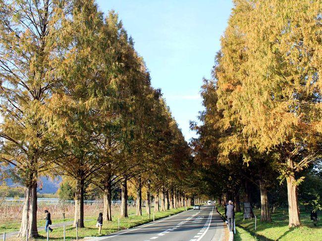 最近、メディアでやたらと目にすることが多い滋賀県マキノ町のメタセコイア並木道♪<br />確かに、まだこんなにメディアで騒がれていなかった頃の夏の日に、偶然車で通りかかって<br />「わぁ〜まるで絵画のような世界だわっ!!」って感動したなぁ。<br />先日見ていたテレビ番組の中で、秋の紅葉したメタセコイア並木道の様子を紹介した写真が映し出され、とても綺麗で見に行ってみたくなり……<br /><br />行く機会を伺いつつ、それなら前から気になっていたクラブハリエのパン屋さんにも立ち寄ってみようよ。<br /><br />世間は3連休の中日★<br />でも、滋賀県北部ならそんなに混んでないだろう??と思っていたのに、ヤラレタ・・・コンデタ・・・(笑)<br />大渋滞にはまりつつ、久し振りのドライブです♪<br /><br /><br />ジュブリルタン  http://clubharie.jp/joublie_le_temps/<br />マキノ町のメタセコイア並木道  http://www.takashima-kanko.jp/spot/makino/532.html