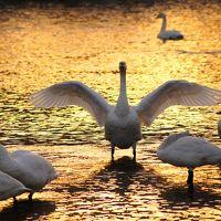 ◆釈迦堂川の白鳥&夕焼け朝焼け