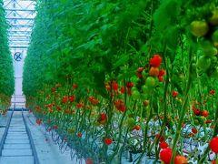 いわき3/8 とまとランドいわき:栽培温室を見学  ☆もぎ取りトマトを試食