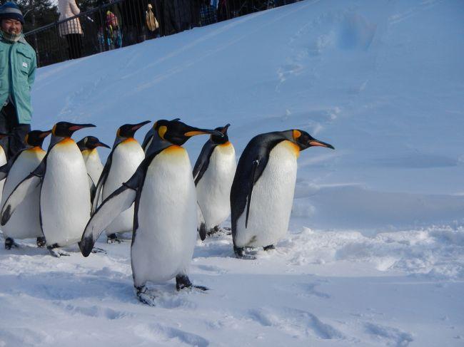 冬の札幌・旭川週末旅行☆2日目旭山動物園号で旭山動物園へ・・ペンギンの散歩可愛い!