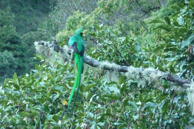 前日のParaiso de Quetzalesでは幸運に恵まれケツァールを見る事が出来ましたが、本命は此方のサンヘラルド・デ・ドタ。<br />早朝にガイドのおじさん(少なくとも60代半ば以上と思います)に連れられて、少し標高の高い場所へ移動。<br />しばらくすると多くの観察者、カメラマンが集まりつつある場所に到着。<br />ここでもアッサリとケツァールを発見し、観察する事が出来ました。<br />今回はこのガイドのオジサンが精力的で、付近の木から木へ飛び移るケツァールのベスト観察撮影場所を目指して傾斜があって足元が不確かな山肌を縦横無尽!ついて行くこちらの方が脚に来て大変でしたが、さすがに経験が長いガイドらしく常に良く見える場所へ素早くスコープを担いで猿のごとく移動したものです。<br />その後別の場所へ移動して、他の野鳥を観察しました。<br /><br />