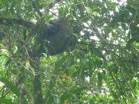 早朝OTS(Organization for Tropical Studies)のLa Selva自然保護区へ出かけるも雨に会う。ナマケモノを見つけるが寝てばかり。