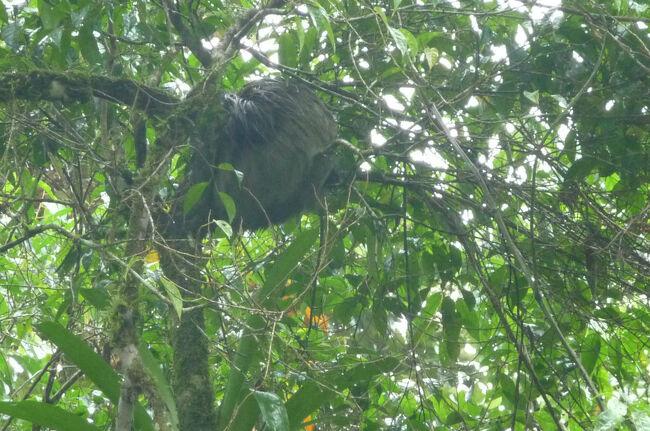 サラピキの近所にOTSと云う熱帯学習の世界的組織のラ・セルバ自然保護区と云うのが有るらしいので早朝から出かけてみた。<br />然し残念な事に天候不順で雨模様となり天気の悪さで暗い事もあって余り野鳥を見る事は出来なかった。<br />スタッフは基本学者さんなので知識豊富だが、鳥そのものの種類が余り出ていなかった。<br />保護区入口近くではナマケモノの成獣個体が樹上で眠っているのを発見!でも動かないと何だか樹上のコケの塊にしか見えない。<br />雨に濡れて寒そう。<br /><br />天気が良い日であれば森の奥まで入ると色々な動物に会えるらしい。<br />今回はチョット残念だった。<br />