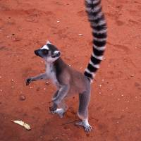 マダガスカル探訪、ベレンティ自然保護区
