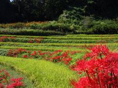彼岸花咲く、明日香の棚田。