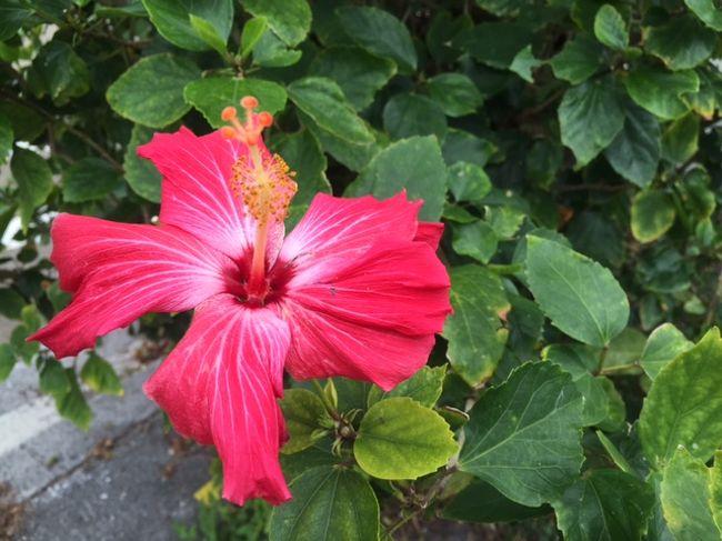 セントレア空港から飛行機で2時間半、沖縄諸島 沖縄那覇市は<br /><br />冬でも暖かな日本の避寒地です。<br /><br />2015年1月中旬に本土の寒さを避けて家内と2年ぶりの<br /><br />ゴルフを楽しみに来ました。<br /><br />今回は、3泊4日の旅行ですが2日間ゴルフを楽しみます。<br /><br />2人共格別ゴルフ好きでもありませんが、健康に良い事から<br /><br />長年楽しんでいます。<br /><br />気になるゴルフのスコアも特別良い訳でもありません(涙)。<br /><br /><br />先ずは、那覇空港から宿泊先の日航那覇グランドキャッスルに<br /><br />チェックインします。<br /><br />*暖かさを伝えてくれるハイビスカスがお出迎えです。