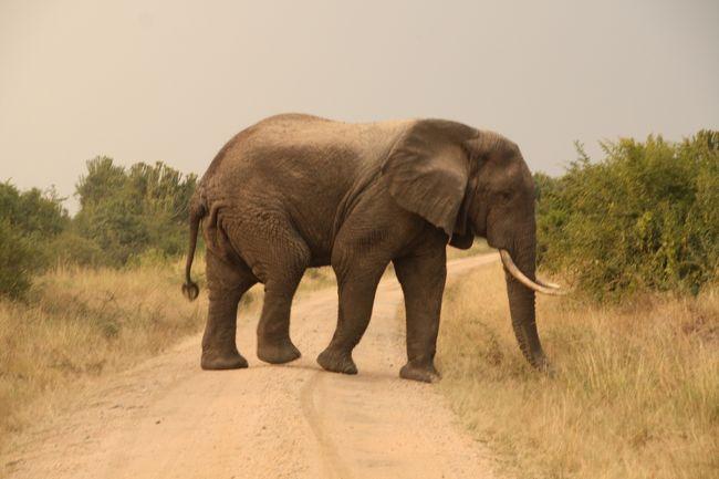 クイーンエリザベス国立公園<br /><br />ホテルでランチを食べた後、昼からは象がたくさんいるエリアへ。