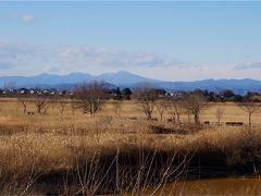 1月の渡良瀬遊水地 鳥を探しながらのヨシ原歩き
