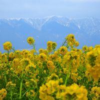 屏風のように聳え立つ比良の山々から冬色の湖面を渡り満開の菜の花畑に寒風が吹き渡る そんな光景の中でお散歩
