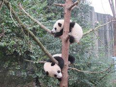 四川省パンダ探しの旅(3日目 成都大熊猫繁育研究基地 パンダ写真ばかり)