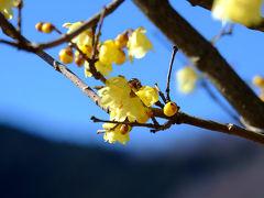 美しく咲く ろうばいの里 松田町 上