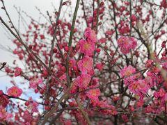 三分咲きでしたがきれいだった熱海梅園と、伊東で美味しいお魚を戴いて、温泉&街の散策 の巻 ①