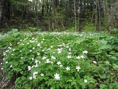上高地の二輪草の花