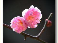 Solitary Journey[1518]確実に近づく春の訪れ。白色や淡いピンク色の梅の花たちが咲きはじめました♪<縮景園で梅見茶会>広島県広島市