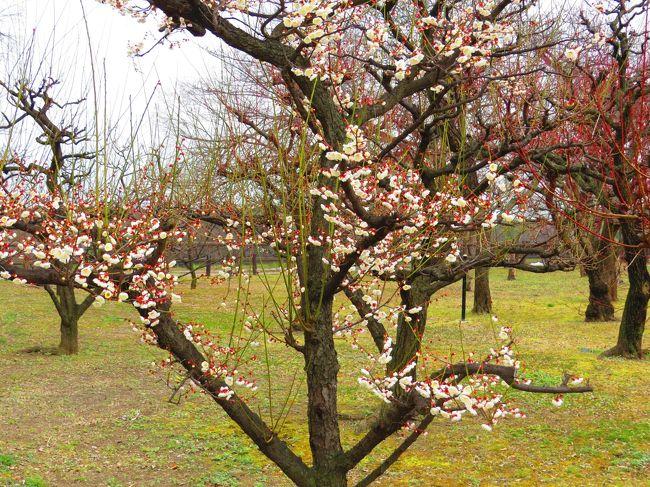 チャリの新車を購入したので、淀川河川敷~毛馬水門~桜ノ宮公園~大阪城とサイクリングしながら<br /><br />ついでに野鳥探して来ました。<br /><br />(チャリは3段X8段=24段で坂道も楽々で乗り心地は最高でした)<br /><br />大阪城梅林の梅の花、咲くのはまだまだ先の様です<br /><br /><br /><br /><br /><br /><br /> 表紙                   大阪城チャリ