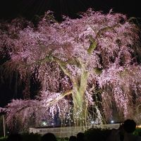 京都お花見2014