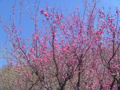 梅は咲いているのか?保久良山、岡本梅林公園