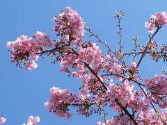 花を求めて伊豆半島へ(下田→河津→熱海→湯河原)