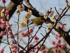 「せたがや梅まつり」 羽根木公園で観梅