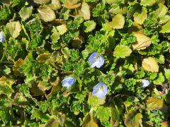 2015早春、春を探しに天白川へ(1/2):ダイサギ、ヒヨドリ、ムクドリ、タンポポ、オオイヌノフグリ、梅