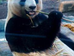上野Zoo1/3 ジャイアントパンダ タケの食事中 ☆リーリー/シンシンようこそ