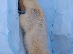 上野Zoo2/3 ホッキョクグマ 寒さに強く元気 ☆水中遊泳も得意