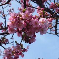河津桜を見に・・・踊り子号に乗って☆2015.2