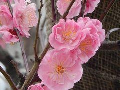 東京駅八重洲口付近で素晴らしい桃の花を見る