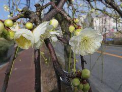 2015早春、名古屋市農業センターの枝垂れ梅ちらほら(1/3):白梅枝垂れ、紅梅枝垂れ