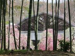 2013春、満開の名古屋市農業センターの枝垂れ梅(2/4)