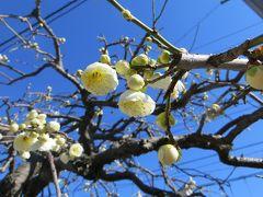 2013春、一分咲の名古屋市農業センターの枝垂れ梅(1/3):枝垂れ梅の街路樹、マンサク