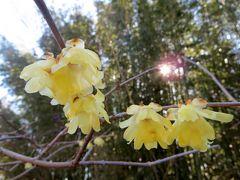 2013春、一分咲の名古屋市農業センターの枝垂れ梅(2/3):農業センターから針名神社へ