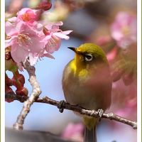 Solitary Journey [1525] 早咲き桜、濃いピンク色をした河津桜に群がるメジロ♪撮りに行ってきました。<上蒲刈島県民の浜>広島県呉市
