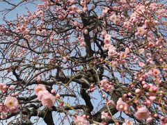 2015早春、まだ咲き始めの名古屋市農業センターの枝垂れ梅(1/5):枝垂れ梅の街路樹、満開のミツマタ