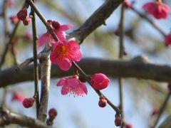 2015早春、まだ咲き始めの名古屋市農業センターの枝垂れ梅(2/5):一重緑萼枝垂れ、千鳥枝垂れ、満月枝垂れ