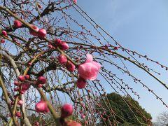 2015早春、まだ咲き始め、名古屋市農業センターの枝垂れ梅(3/5):緑萼枝垂れ、呉服枝垂れ