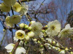 2015早春、まだ咲き始め、名古屋市農業センターの枝垂れ梅(4/5):緑萼枝垂れ、呉服枝垂れ、紅枝垂れ