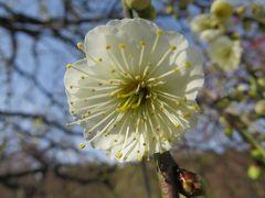 2015早春、まだ咲き始め、名古屋市農業センターの枝垂れ梅(5/5):緑萼枝垂れ、緋の司枝垂れ