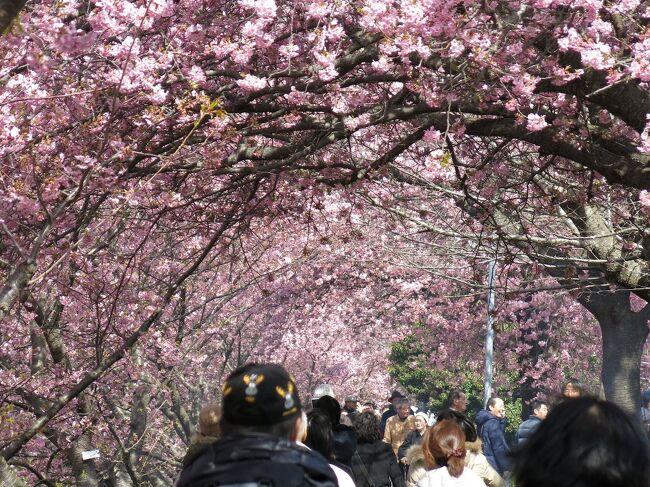 今年も河津桜の季節です。 <br />熱川の海に寄り、河津桜を観て、箱根の湯に浸ります。<br />今年こそなにかいい夢を見たいのですが、いまだ悩みも迷いも尽きません。<br /><br />・春なのにまだ咲かぬ花待ちわびて<br /><br />・早咲きの花早々と散りにけり<br /><br />・菜の花や揺らり揺らりと風通す<br /><br />・梅がさき還暦あとの湯治かな <悠遊人><br /><br />