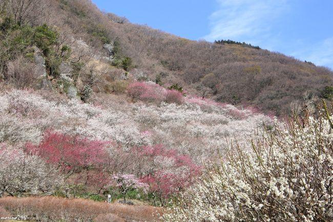 8年ぶりに湯河原梅林へ出掛けました。<br />湯河原梅林は、20年前に幕山の傾斜地に観光用にオープンしたもので、約4千本の紅梅・白梅が梅の絨毯のように咲き誇り、梅の香りに包まれます。<br />この日は、天気は良かったものの、梅の花も飛ばされるくらいの強風が吹き荒れ、杉花粉もいっぱい舞っていました。<br /><br />梅の宴、今年の開催期間は、2月7日〜3月15日。<br />開園時間は9:00〜16:00。<br />2月28日〜3月8日は、18:00〜20:30、ライトアップもされるそうです。